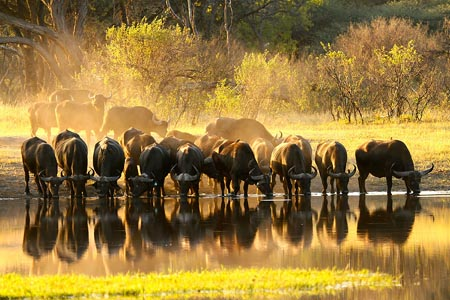 The-Hide-Wildlife-buffalo.jpg