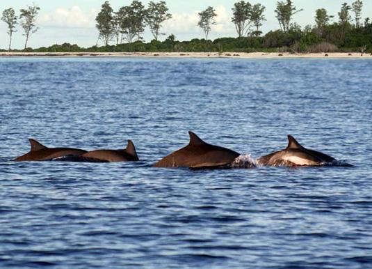 Dolphins off Bird Island
