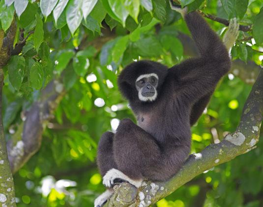 Kota Kinabalu Gibbon Monkey