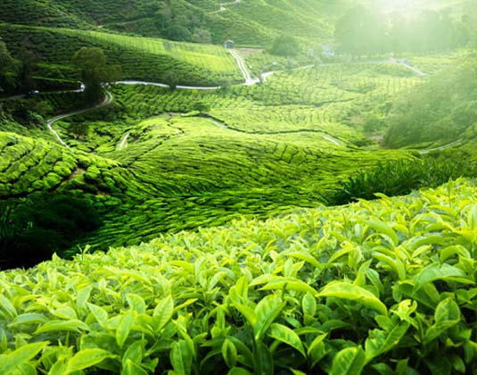 Cameron_Highlands_Tea_Plantation.jpg