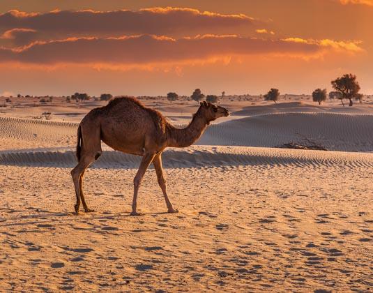 Dubai_Camel_desert.jpg