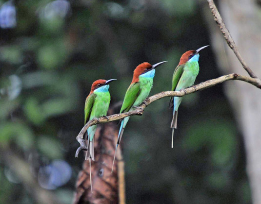 Tabin Wildlife Reserve Blue throated Bee-eater