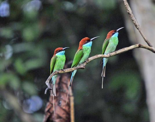Tabin_Wildlife_Reserve_Blue-throated_Bee-eater.jpg