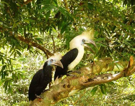 Tabin White-Crowned Hornbill