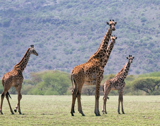 Ngorongoro National Park Giraffes  Tanzania