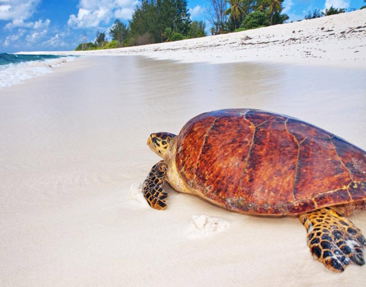 Bird Island Hawskbill Turtle