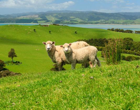 Auckland_Sheep.jpg