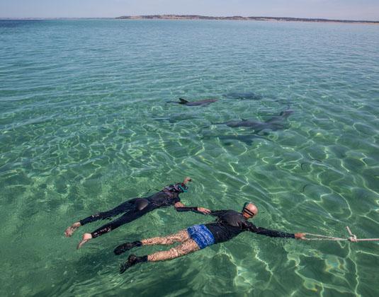 Swimming_with_Dolphins,_Kangaroo_Island.jpg