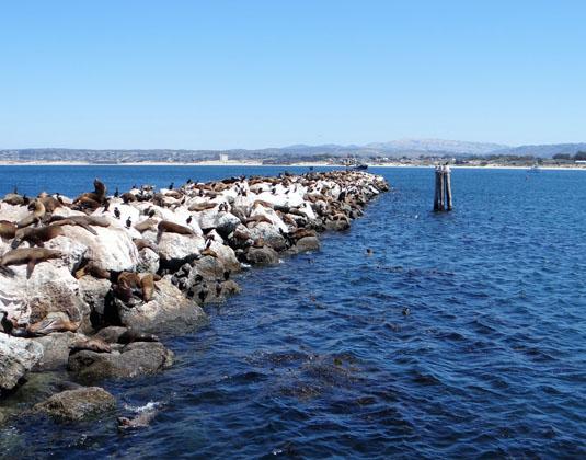 Monterey_-_Seals_on_rock.jpg