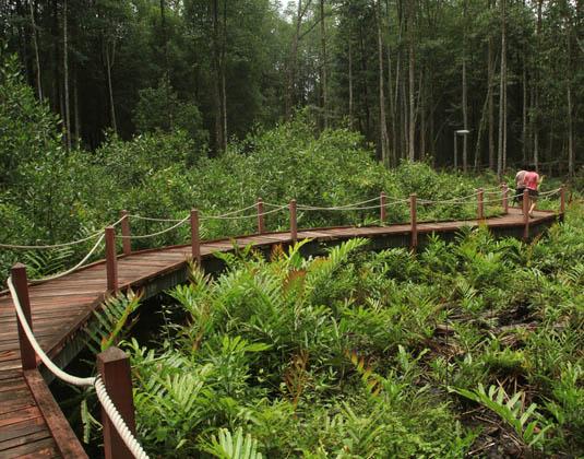 Boardwalk in Matang Mangrove Forest