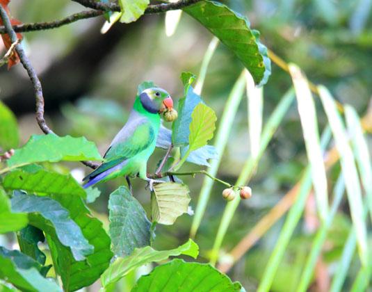 Sinharaja Forest Reserve, Layard's Parakeet