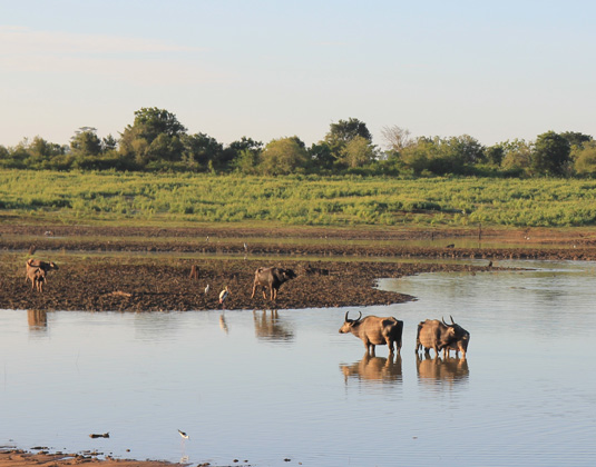 Uda Walawe, Small herd of wild buffalo resting in water,