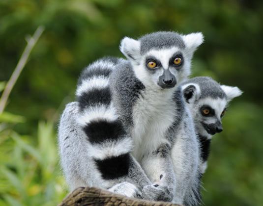 Nosy_Be_Lemurs_Madagascar_Island_Escape.jpg