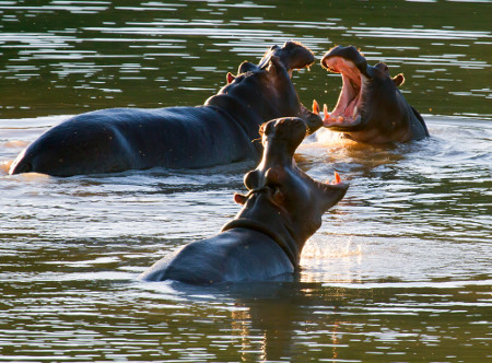 Buffelsdrift_Game_Lodge_-_Hippos.JPG