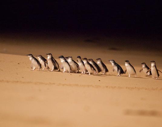 Phillip_Island_MAIN_Penguin_Parade.jpg
