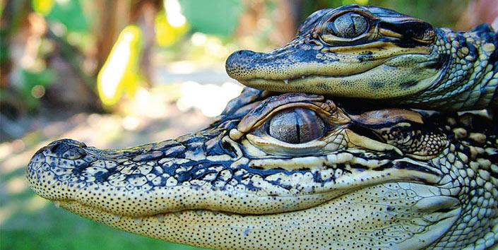 Croc Express to Australia Zoo excursion