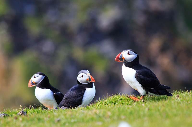 Shetland_Island_puffins_shutterstock_794278618.jpg