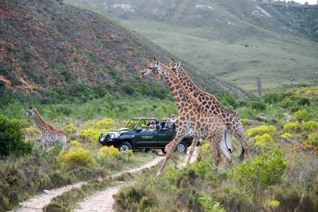 Gondwana-game-drive_giraffe.jpg