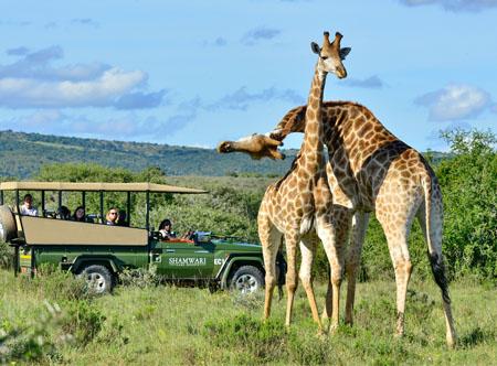 Shamwari_-_game_drive_-_pair_of_giraffes.jpg