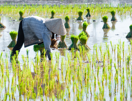 Rice_fields,_Cambodia.jpg