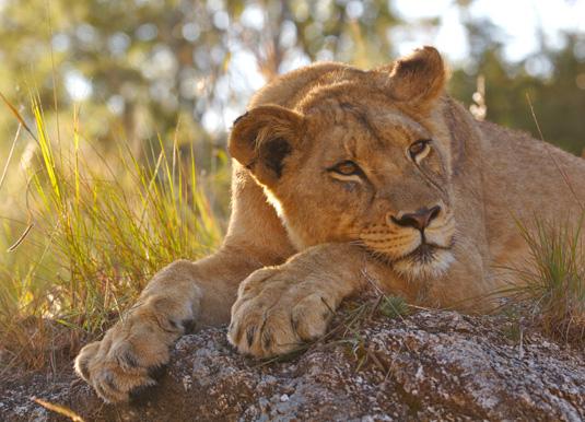 Kruger lioness