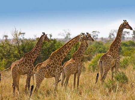 Giraffes_Kruger.jpg