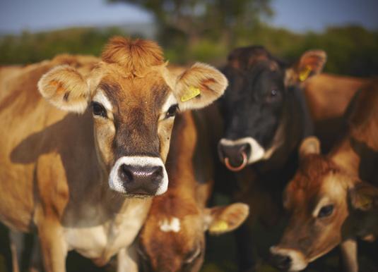 Jersey-Cows.jpg
