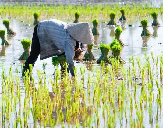 Cambodia_rice_farmer.jpg