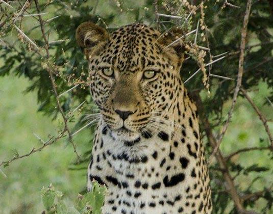 Elandela_Leopard.jpg