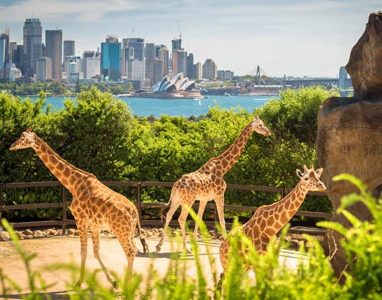 Sydney Giraffe