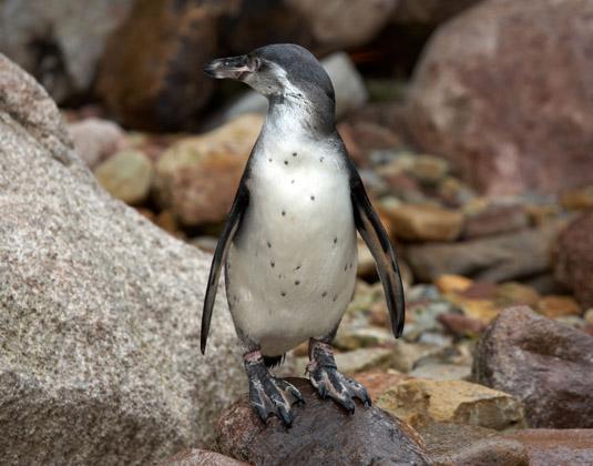Tasmania_penguin.jpg