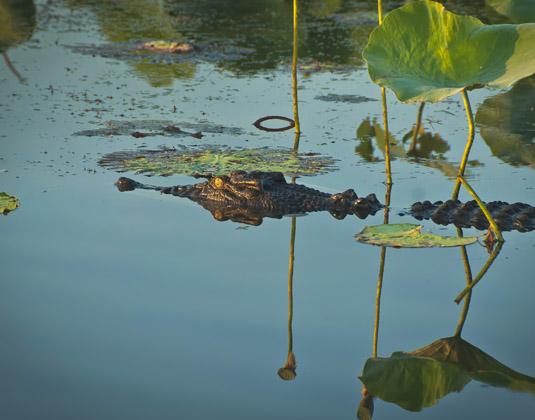 Kakadu_crocodile.jpg