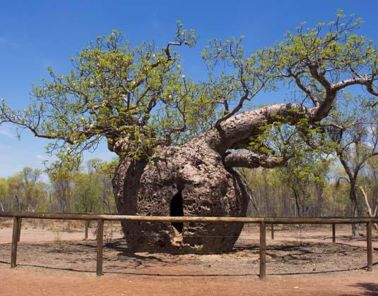 Boab_Prison_Tree.jpg