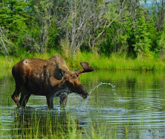 Yukon,_Wildlife.jpg