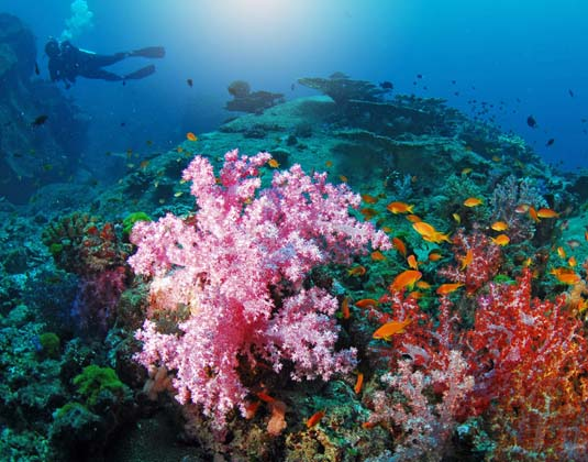 Beautiful_colorful_soft_coral_with_diver,_Similan,_Thailand.jpg