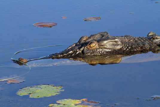 Large_saltwater_crocodile,_Yellow_water_billabong,_Kakadu_National_Park_shutterstock_83065738.jpg