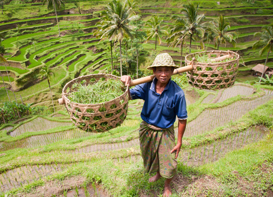 Rice-farmer.jpg