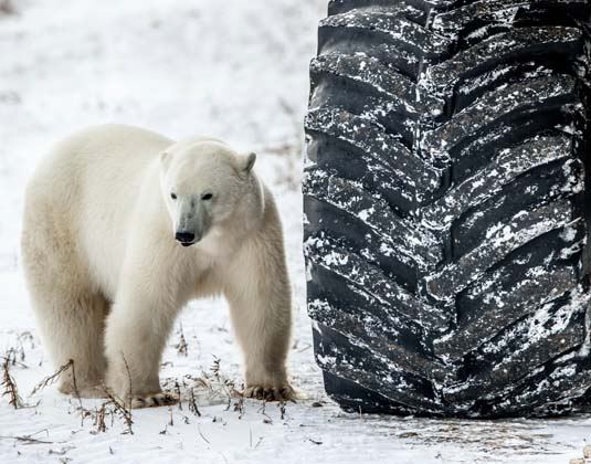 Tundra buggy polar bear
