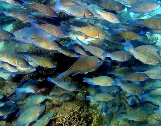 Parrot_Fishes,_Nosy_Be_Madagascar_Island_Escape.jpg