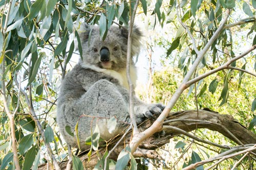 Koala_Conservation_Centre.jpg