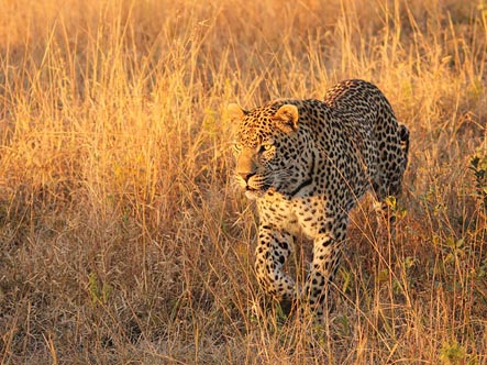 Leopard-Mountain-Safari-Lodge_leopard.jpg