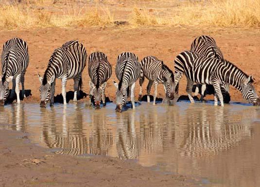 Zebras,_Pilanesberg_National_Park_shutterstock_229096042.jpg
