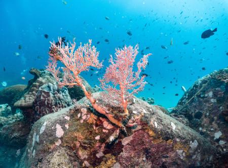 Taaras_Redang_-_Coral_Reef.jpg