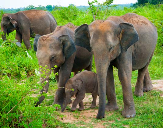 Uda Walawe Family of elephants