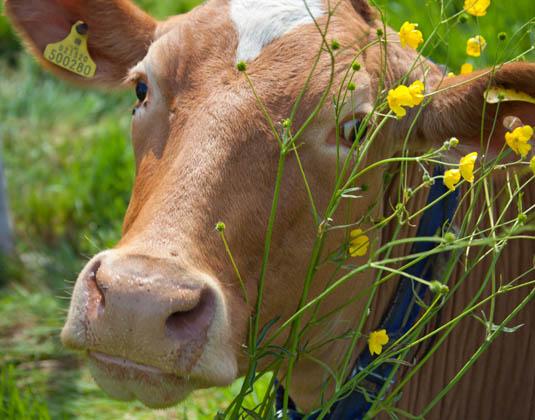 Guernsey, Cow