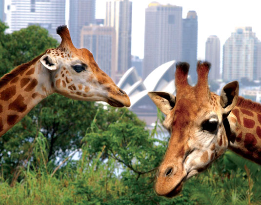 Hop on Hop off & Taronga Zoo excursion