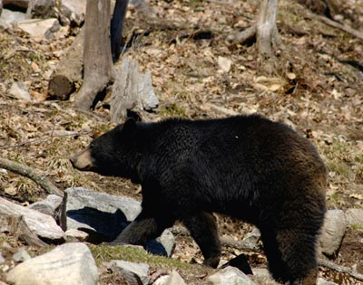 Black Bear Observation excursion