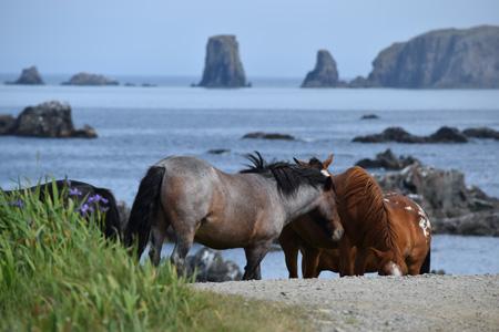 Newfoundland_horses,_Bonnavista_shutterstock_605517863.jpg