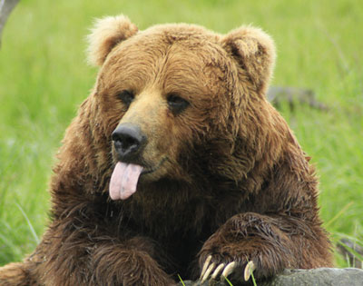 Discover Grizzly Bears Tour (inc lunch) excursion