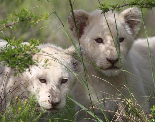 Pumba_Lion_Cubs.jpg